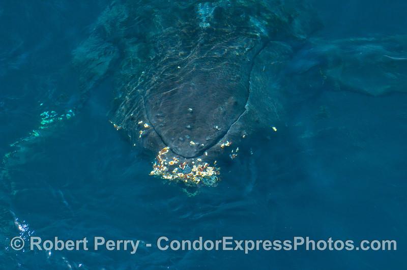 A Humpback Whale (Megaptera novangliae) makes its introduction.