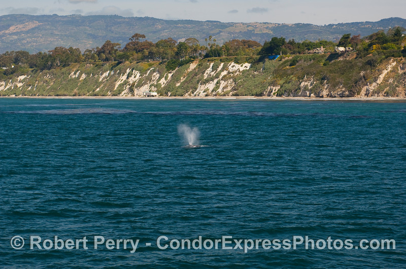 A wide angle view of a  Gray Whale (Eschrichtius robustus)  heading north.