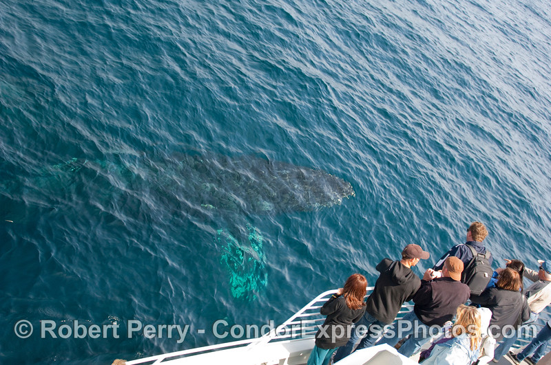 Passengers on the Condor Expres watching the Humpback Whale (Megaptera novangliae) go by.