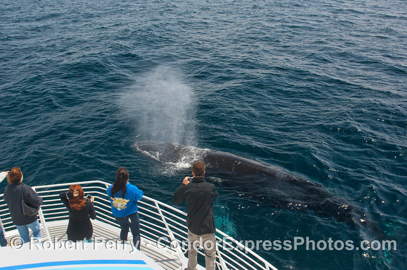 One of many Humpback Whale (Megaptera novangliae) breath rain showers.