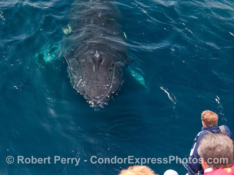 Friendly Humpback Whale (Megaptera novangliae) does a meet-and-greet.