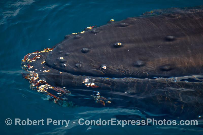 Humpback Whale (Megaptera novangliae).