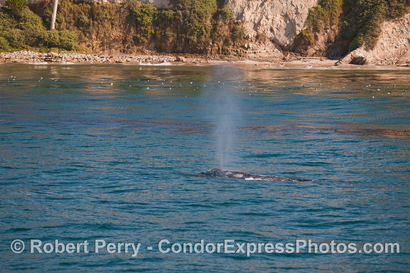 A Gray Whale (Eschrichtius robustus)  travels near the shore.  A flock of Western Grebes (Aechmophorus occidentalis) dot the surface in the background.