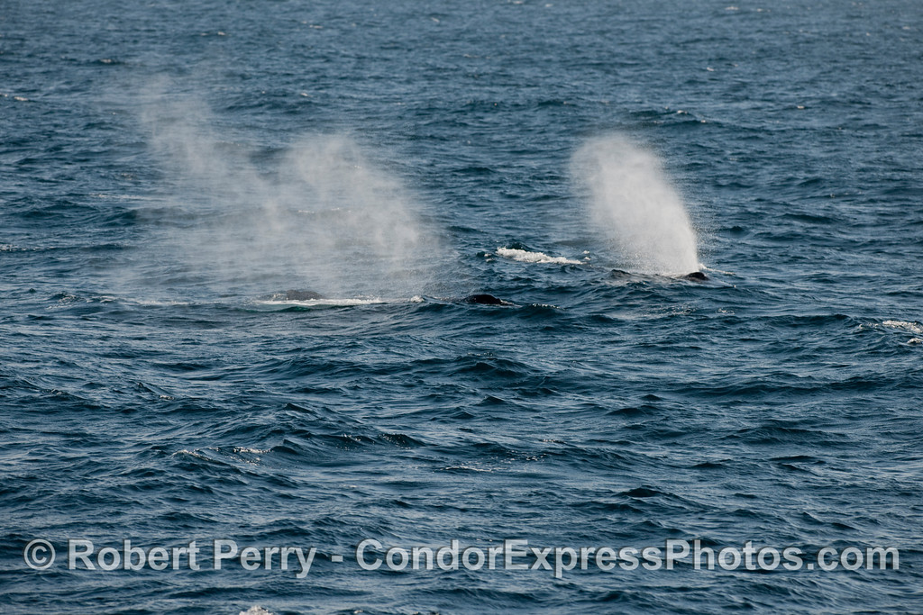 Two Humpback Whale (Megaptera novangliae) spouts in the wind.