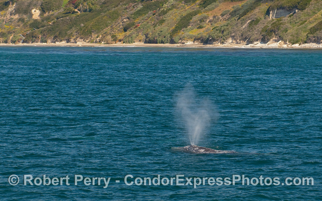A Gray Whale (Eschrichtius robustus) heads north along the beach.