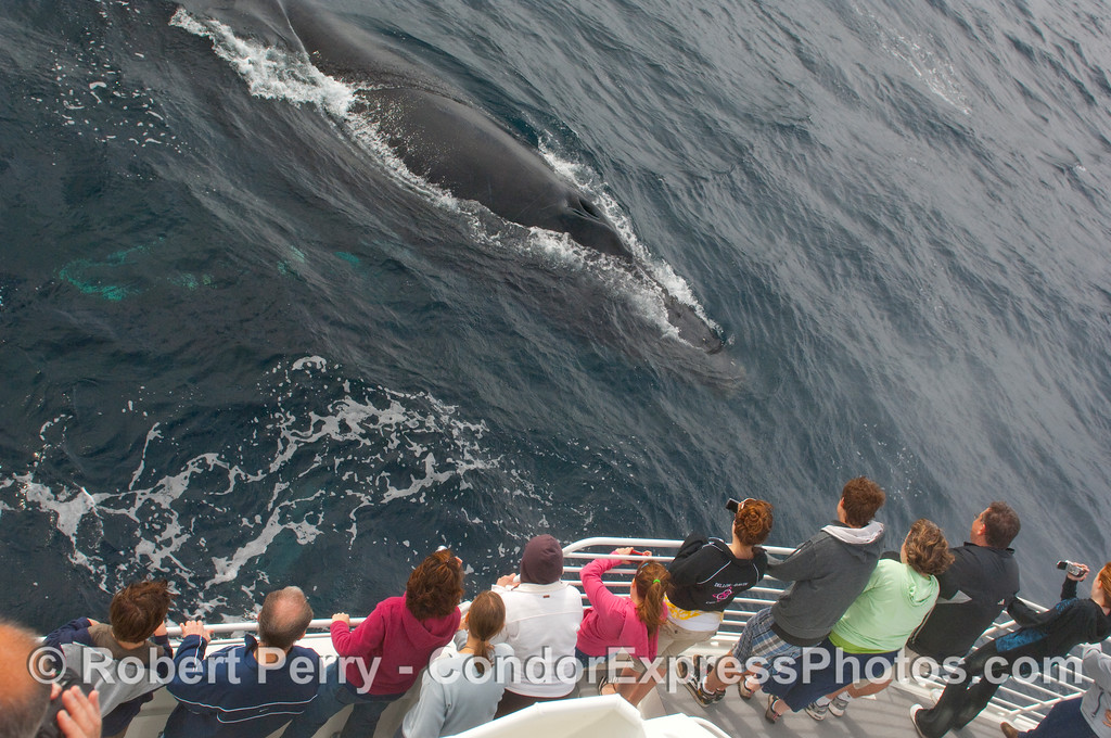 Humpback Whale (Megaptera novangliae) cruises up to the people.