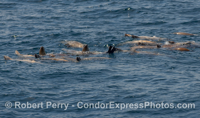 A small raft of California Sea Lions (Zalophus californianus) in the Humpback neighborhood.