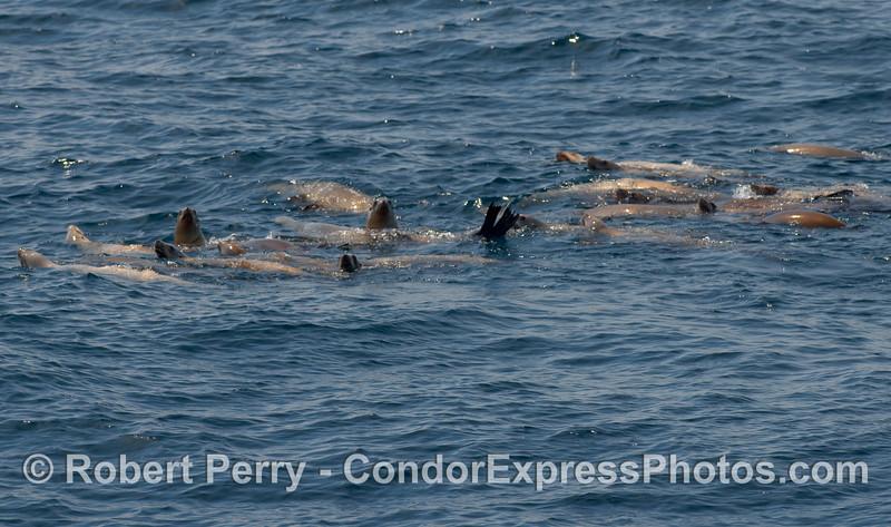 A small raft of California Sea Lions (Zalophus californianus) in the Humpback neighborhood.