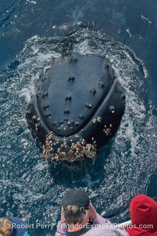 Humpback Whale (Megaptera novangliae) says hello.