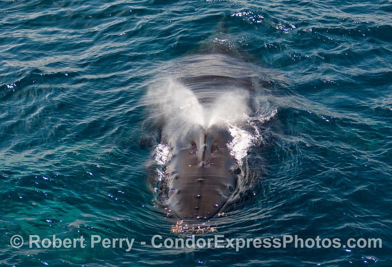 Spouting Humpback Whale (Megaptera novangliae).
