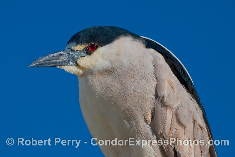 A Black Crowned Night Heron (Nycticorax nycticorax) poses at the Sea Landing docks.
