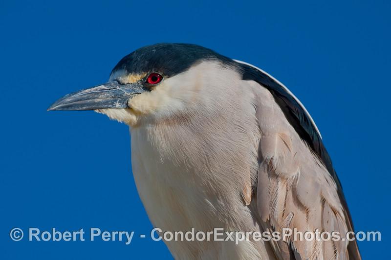 A Black Crowned Night Heron (Nycticorax nycticorax) poses at the Sea Landing docks.