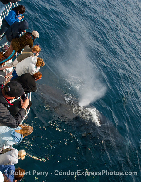 "Another does of Humpback Whale (Megaptera novangliae) ""eau de baleine"" sprays the Condor Express."