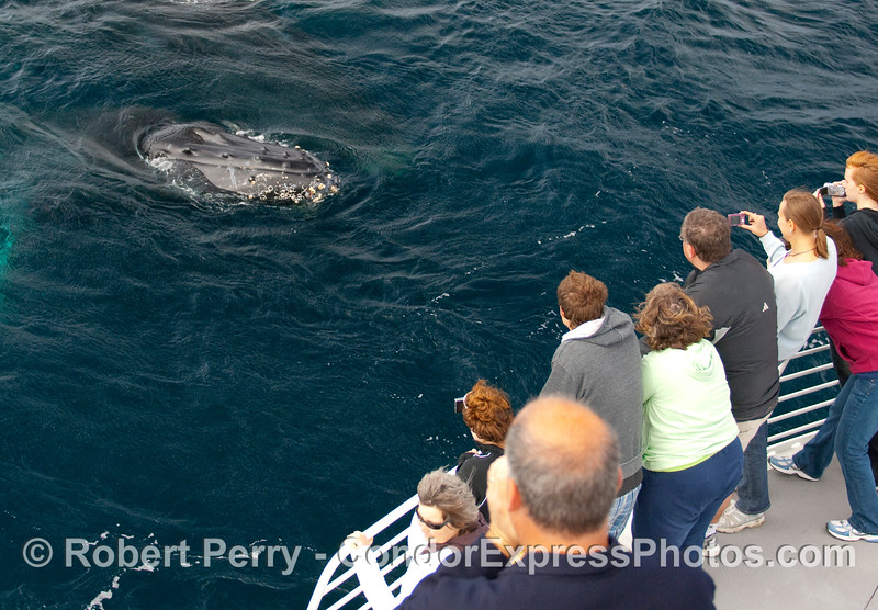 Say hello to the people - Humpback Whale (Megaptera novangliae) - Condor Express.