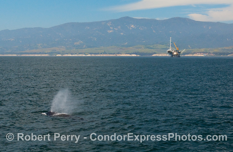 A Humpback Whale (Megaptera novangliae) spouts in the Santa Barbara Channel near oil platform Holly.