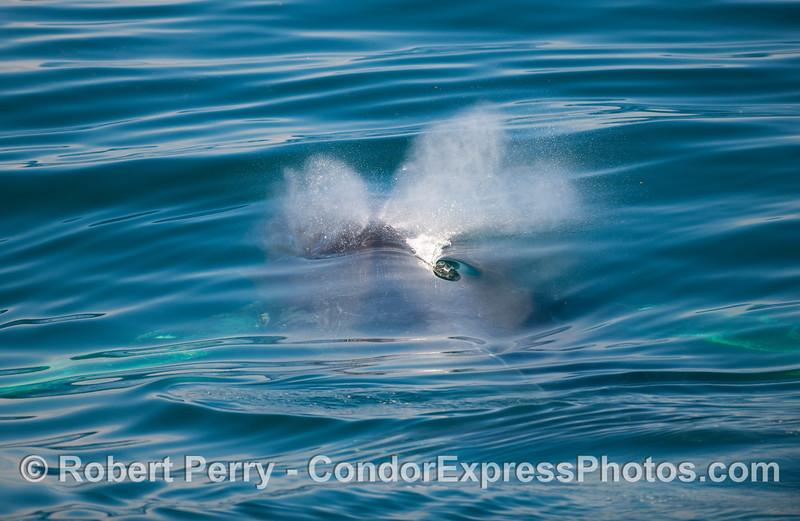 Humpback Whale (Megaptera novangliae) spout 2.