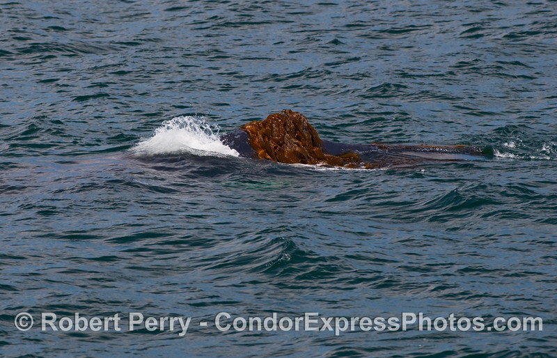 Humpback Whale (Megaptera novangliae) dorsal fin wrapped in giant kelp (Macrocystis pyrifera).