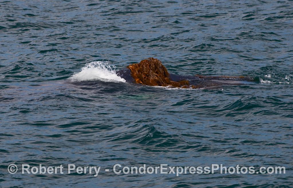 Humpback Whale (Megaptera novangliae) dorsal fin wrapped in giant kelp (Macrocystis pyrifera).