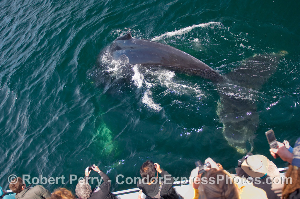 Condor Express passengers see a huge Humpback Whale (Megaptera novangliae) dive right next to the boat.