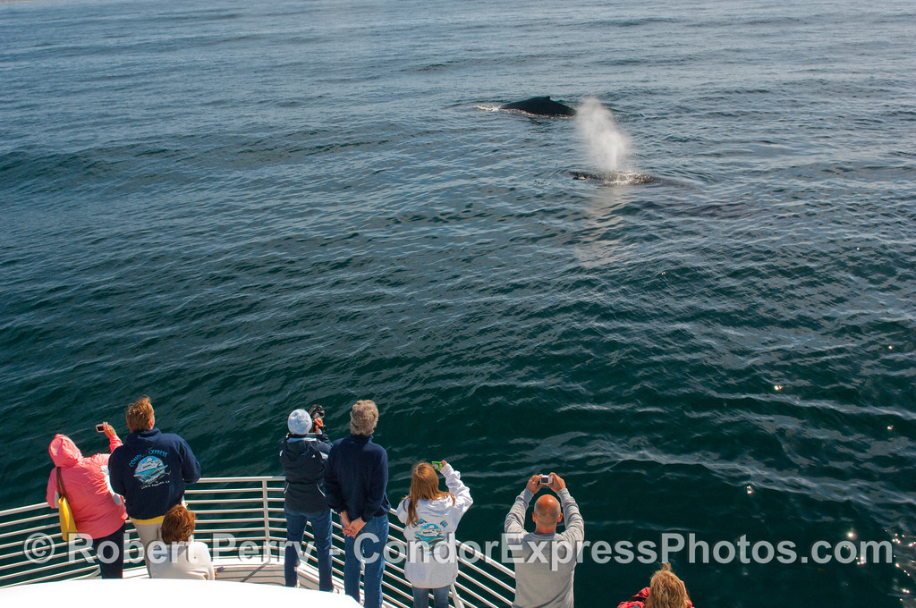Passengers aboard the Condor Express see two Humpback Whales (Megaptera novangliae) coming in close.