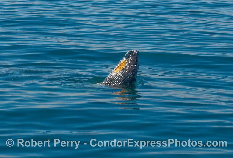 Humpback Whale (Megaptera novangliae) spyhop.
