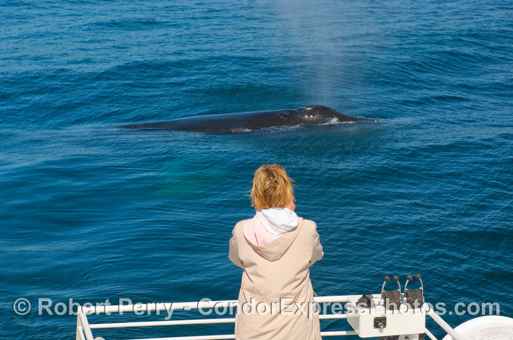 Passenger sees a close approach by a Humpback Whale (Megaptera novangliae).