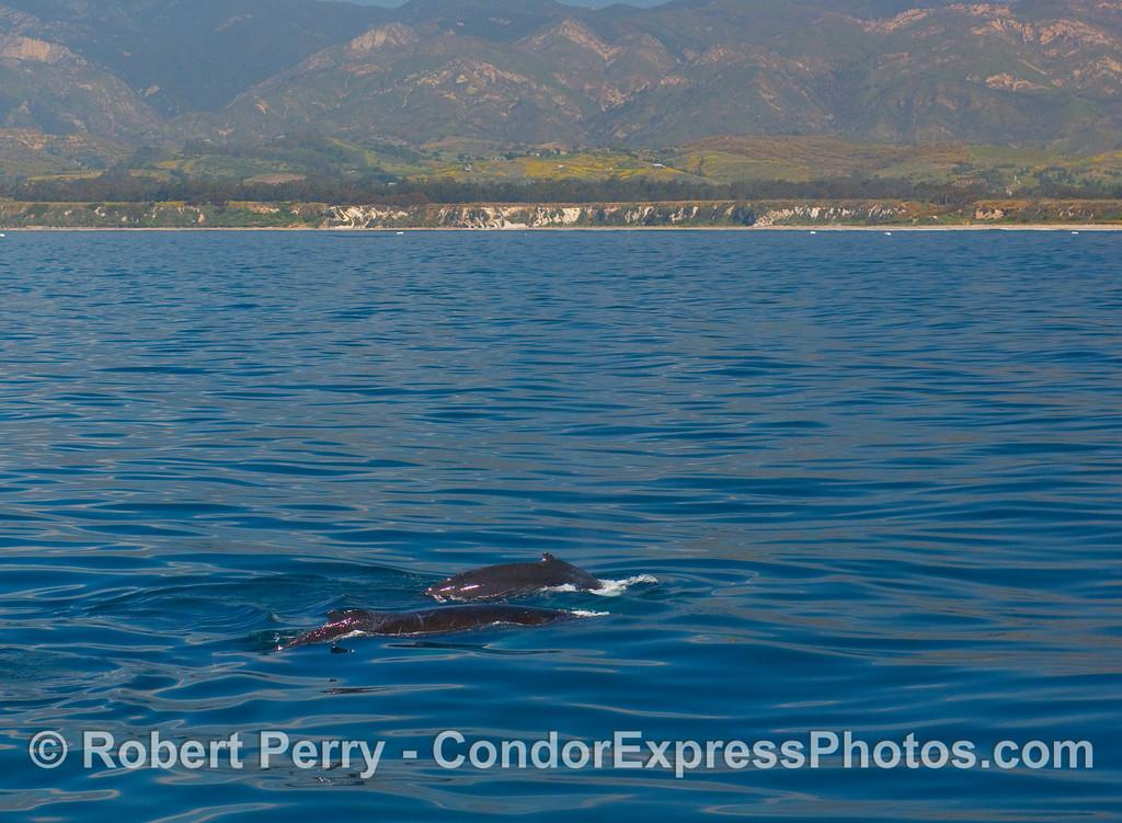Two Humpback Whales (Megaptera novangliae) off Elwood Beach.