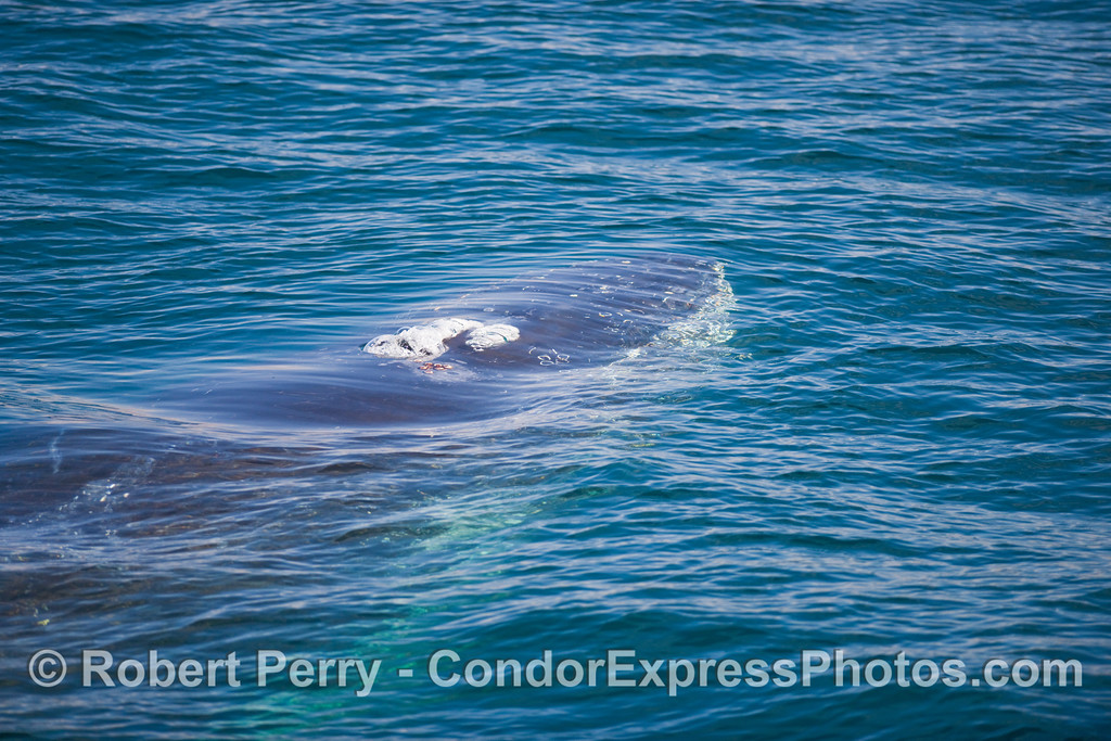 A Humpback Whale (Megaptera novangliae) comes up and begins to spout right next to the boat.