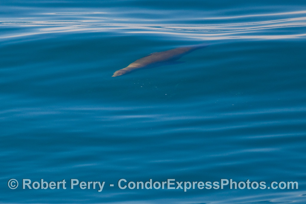 California Sea Lion (Zalophus californianus) glides beneath a glassy open ocean wave.