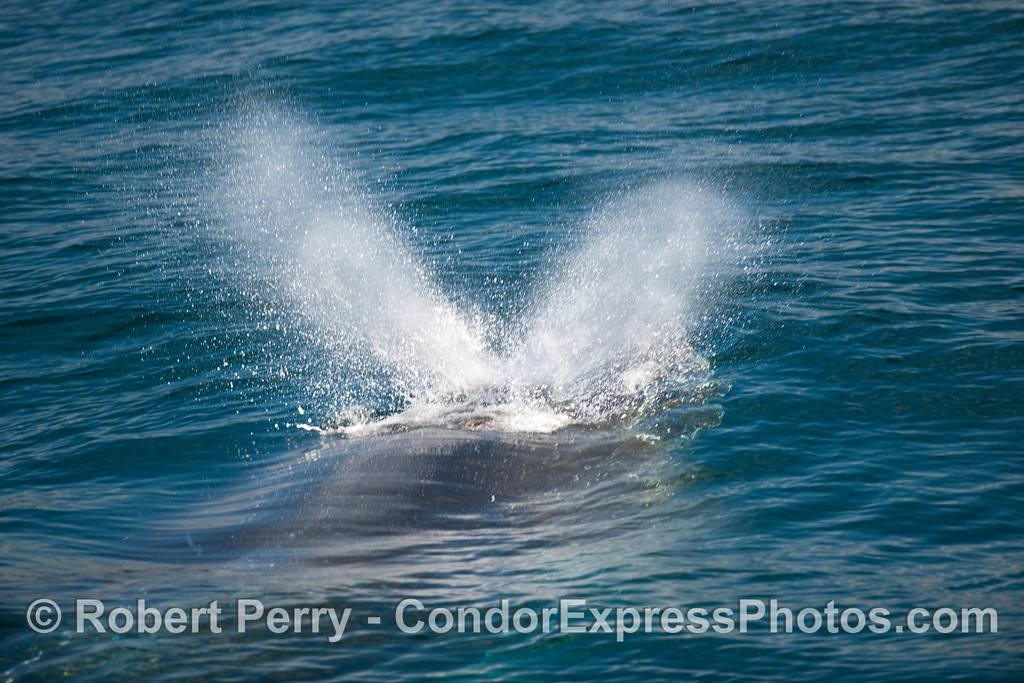 Humpback Whale (Megaptera novangliae) spout 1.