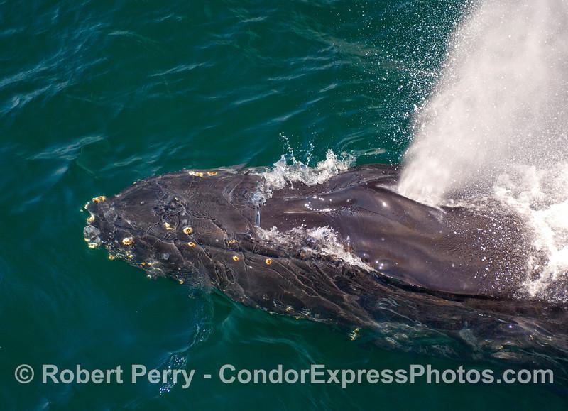 Big head, big spout - a Humpback Whale (Megaptera novangliae).
