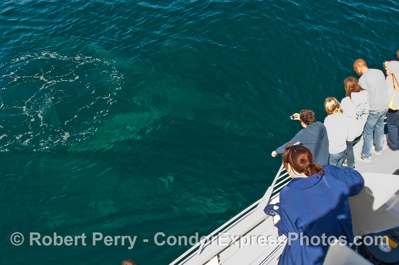 Passengers look down into the green-blue water and see the outlines of two huge Humpback Whales (Megaptera novangliae).