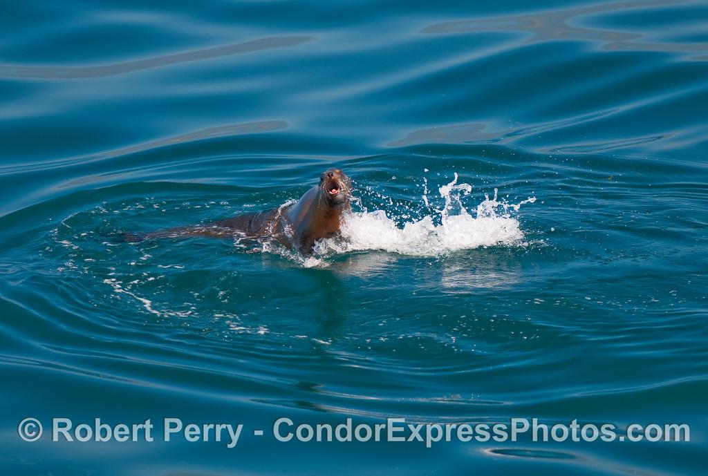 California sea lion (Zalophus californianus) takes a leap at the camera lens.