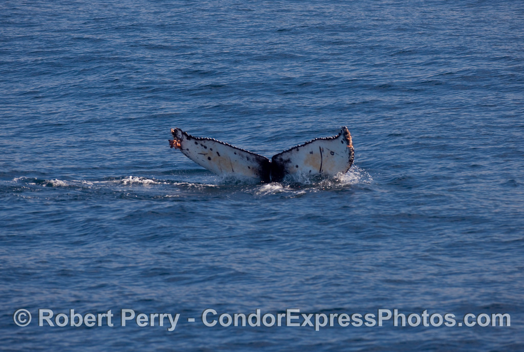 Another Humpback Whale (Megaptera novangliae) tail fluke.