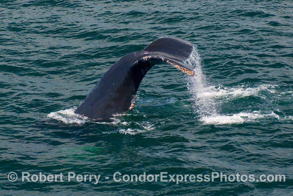 Humpback Whale (Megaptera novangliae) tail fluke.