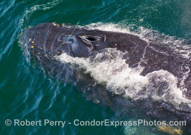 Humpback Whale (Megaptera novangliae) begins a dive.