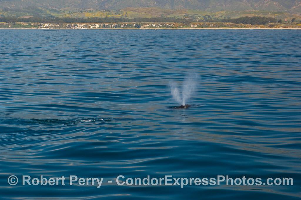 Humpback Whale (Megaptera novangliae) spouts, near the beach at Elwood.