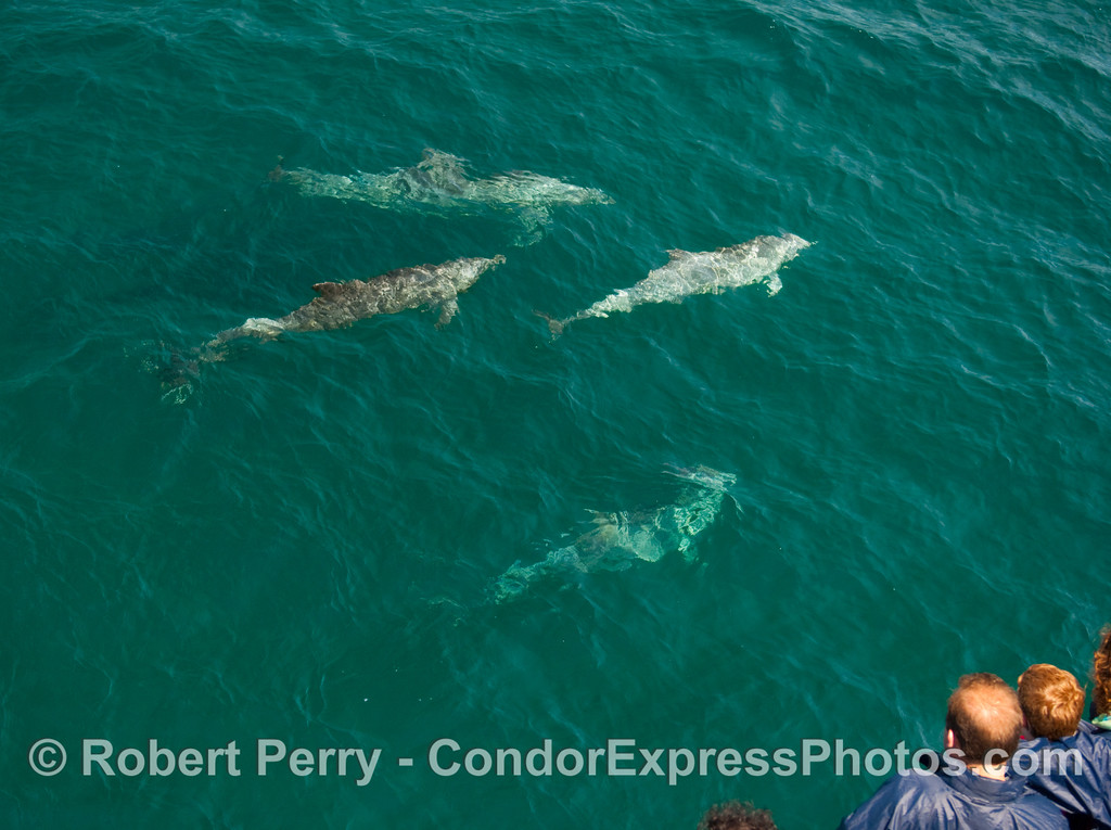 Passengers get a nice view of 4 Bottlenose Dolphins (Tursiops truncatus).