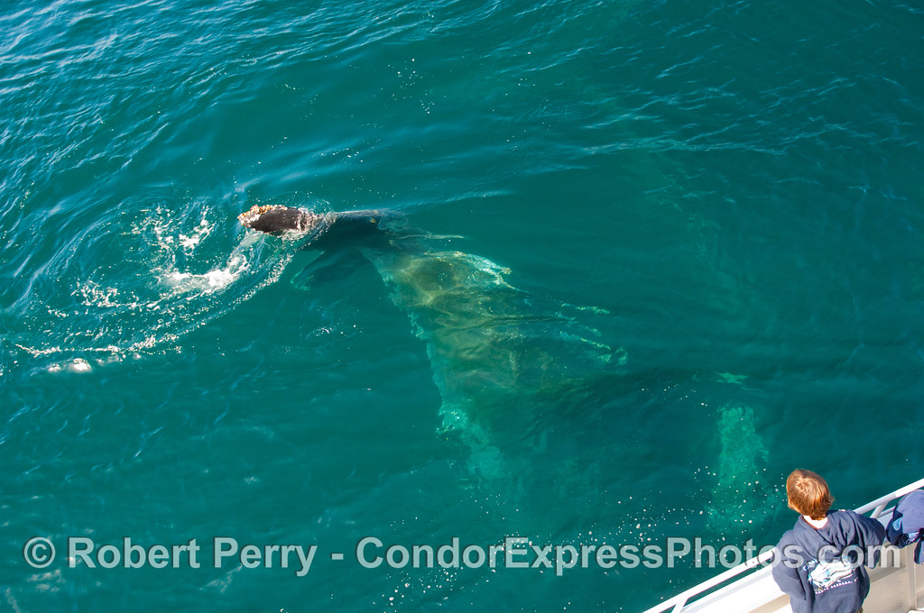 Boy sees a Humpback Whale (Megaptera novangliae) tail close up, as it passes under the boat.