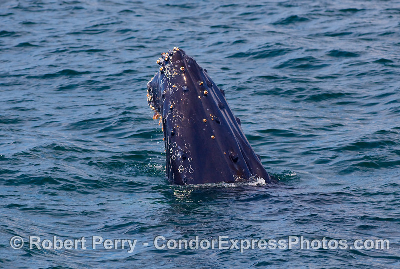 A Humpback Whale (Megaptera novangliae) spyhopping...you are looking at the left side of its head.