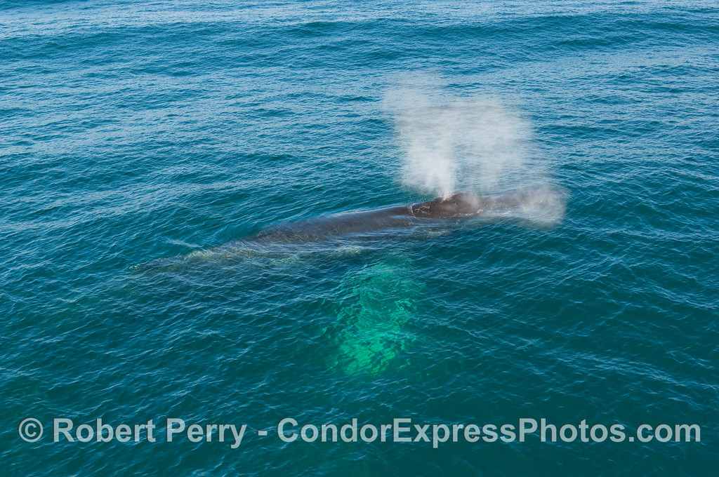An adult Humpback Whale (Megaptera novangliae) spouts on a sunny day in the Santa Barbara Channel.