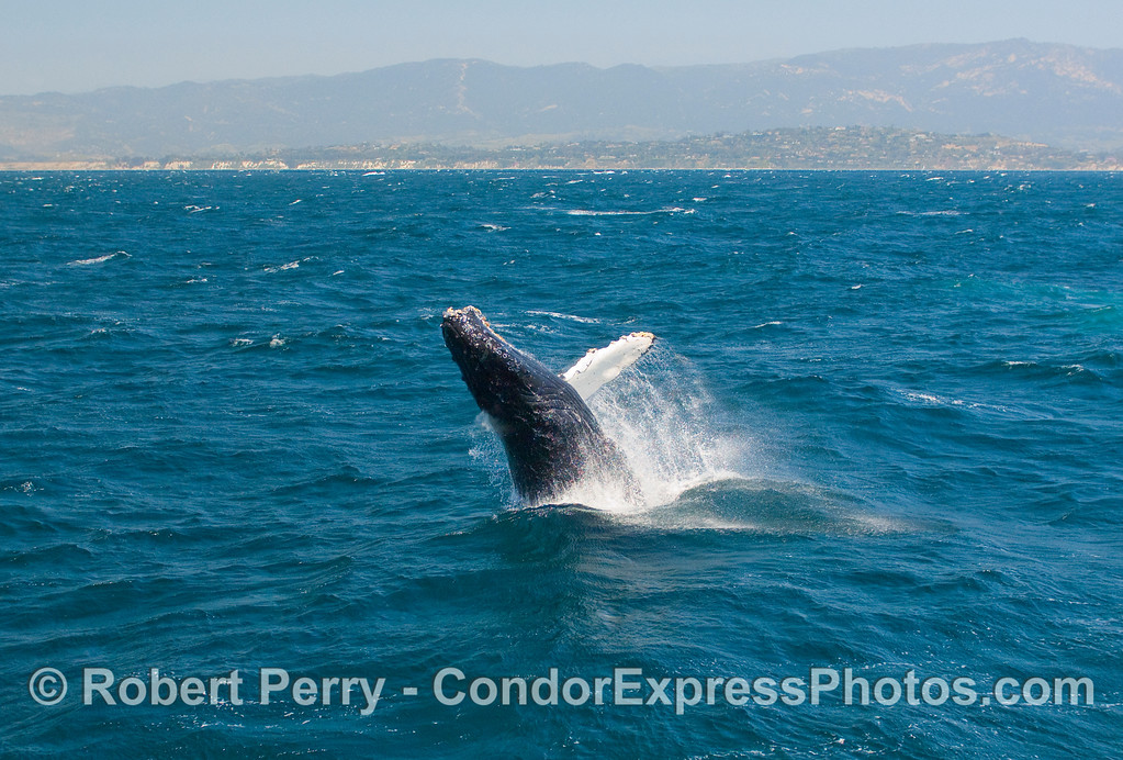 Coast of Santa Barbara clearly visible in the background of this breaching Humpback (Megaptera novangliae).
