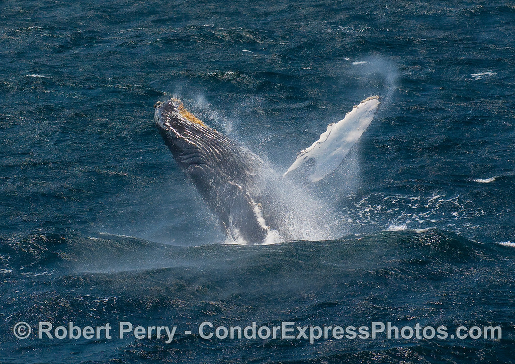 Another wind-blown Humpback (Megaptera novangliae) leviathan.