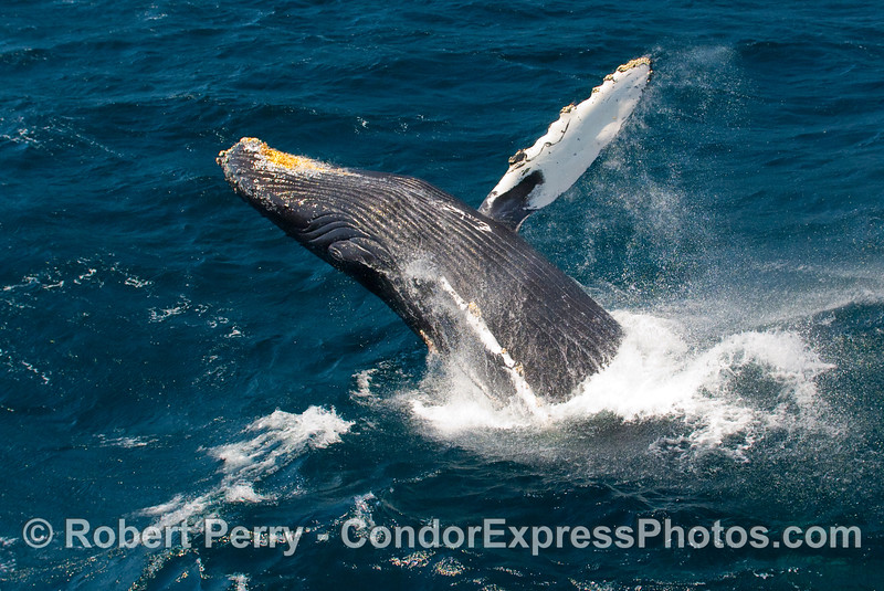 Breaching Humpback (Megaptera novangliae) catapults itself off the top of a big open ocean wave.