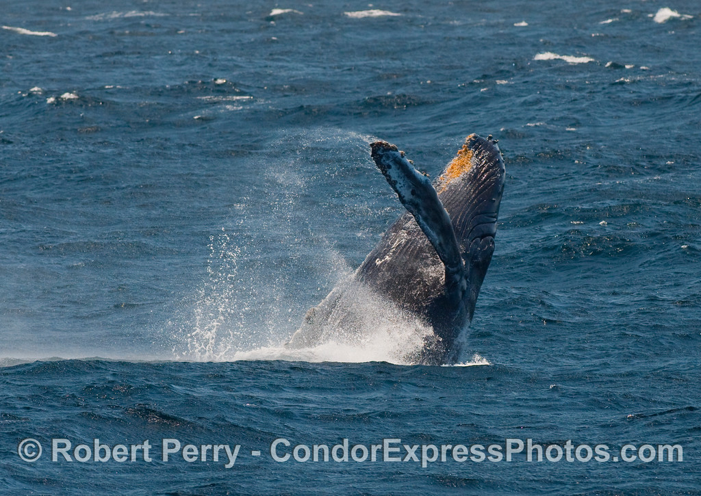 "This Humpback (Megaptera novangliae) does an ""El Rollo"" as it breaches."