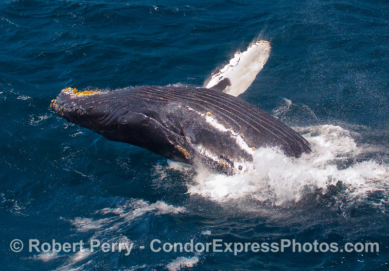 Eyes on the prize:  a breaching Humpback (Megaptera novangliae) looks at the camera mid-air.