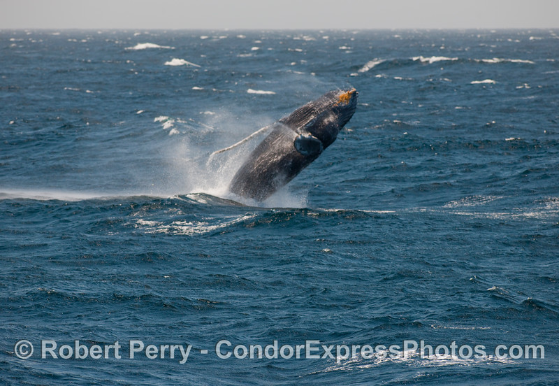 Just about 100% of this 40+ ton body clears the water:  a breaching Humpback (Megaptera novangliae).