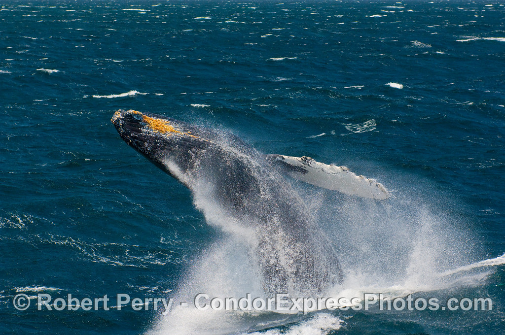 A Humpback (Megaptera novangliae) looks like a missile fired from a submarine.