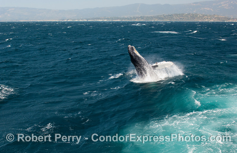Breaching Humpback Whale (Megaptera novangliae)...sequential series...3 of 7.
