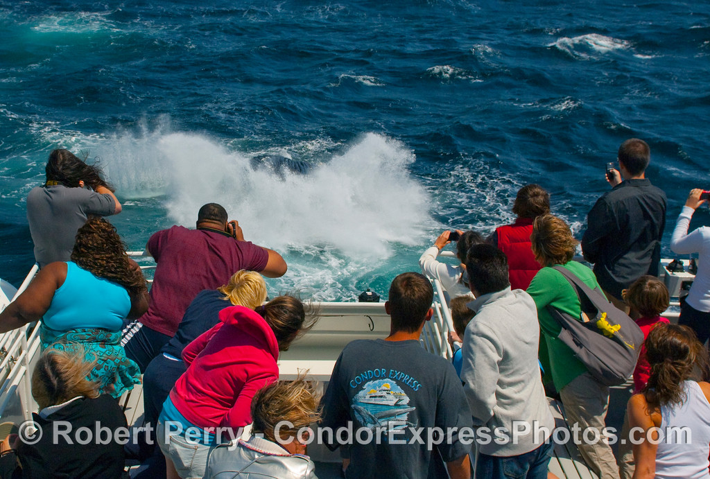 Okay, so now the Humpback Whale (Megaptera novangliae) is following the boat with a breach.